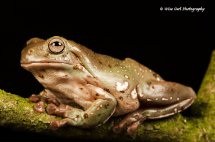 White's Tree Frog 1