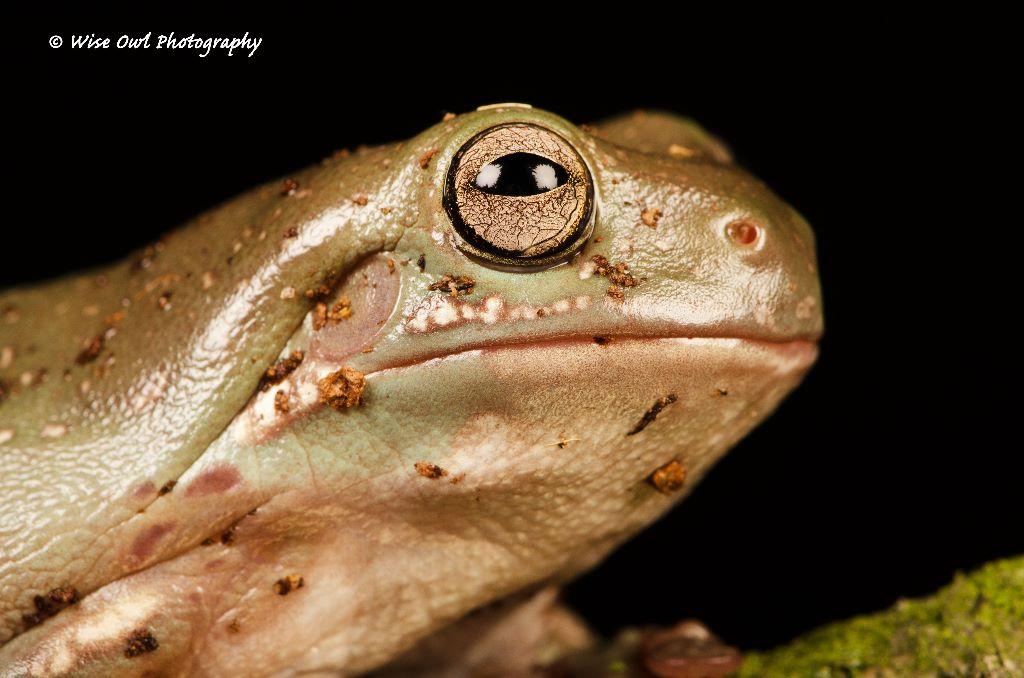 White's Tree Frog 2