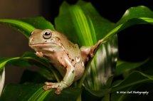 White's Tree Frog 4