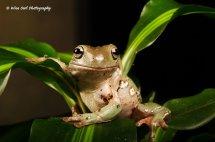 White's Tree Frog 5