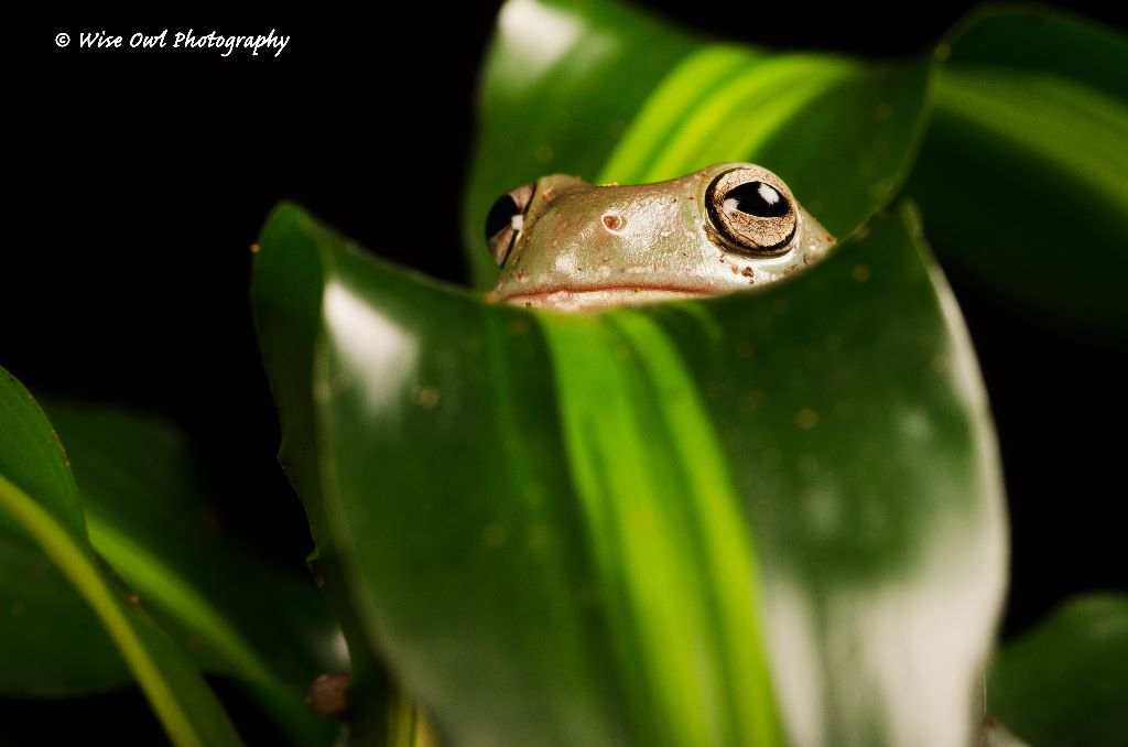 Whites Tree Frog 6