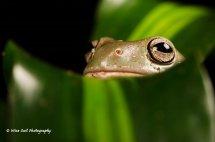 White's Tree Frog 7