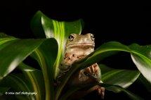 White's Tree Frog 8