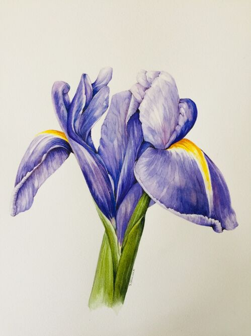 Iris - Shirley Slocock