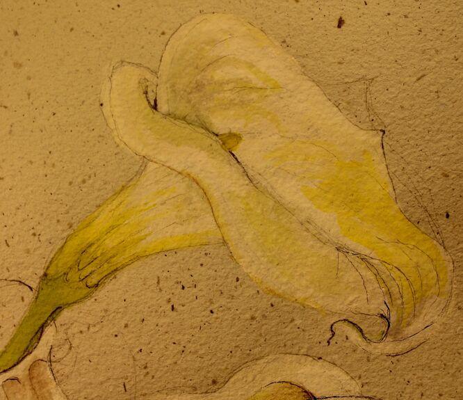 Zantedeschia Lily - Julia Jacs