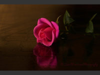 A Rose in the Fading Light