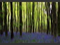Bluebell Wood Fantasy