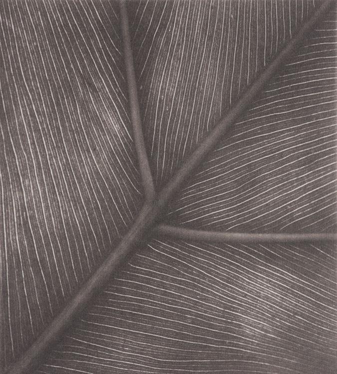 Botanical Venation - Polymer Photogravure Print