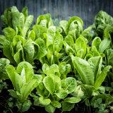 Lovely Lettuce