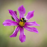 Pollen & Bee
