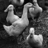 Drumanilra Ducks