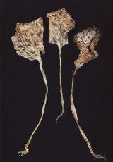 Photogram - leaves