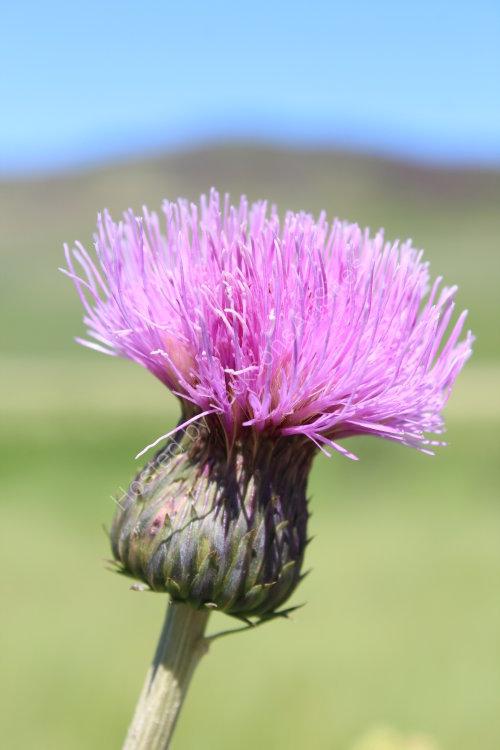 Thistle, Loch Freuchie