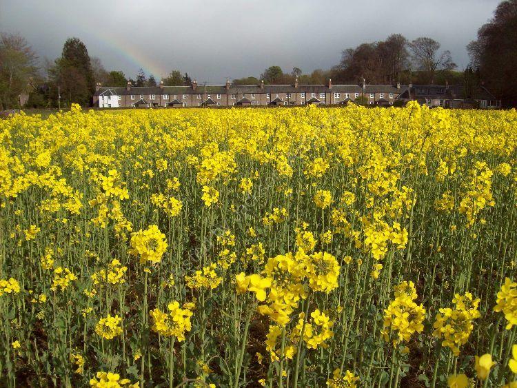 Yellow field, Grey Row.