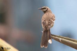 Long-tailed mockingbird (Mimus longicaudatus)