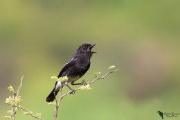 Pied Bushchat (Saxicola caprata)male