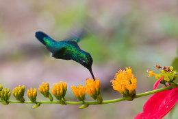 Blue-tailed emerald (Chlorostilbon mellisugus)