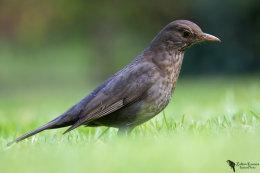 Blackbird (Turdus merula)female